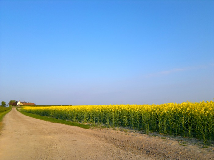 Yellow fields