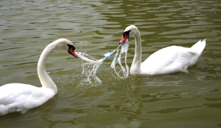 swans-plastic-litter
