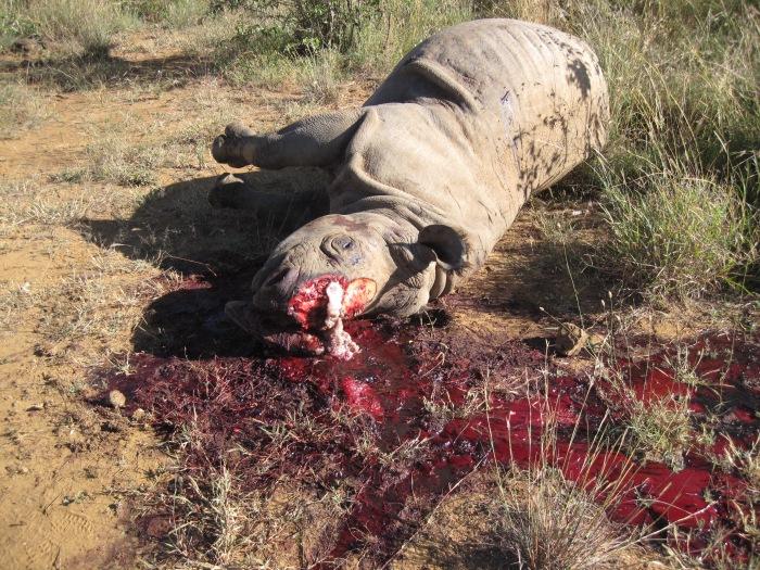 rhinopoaching